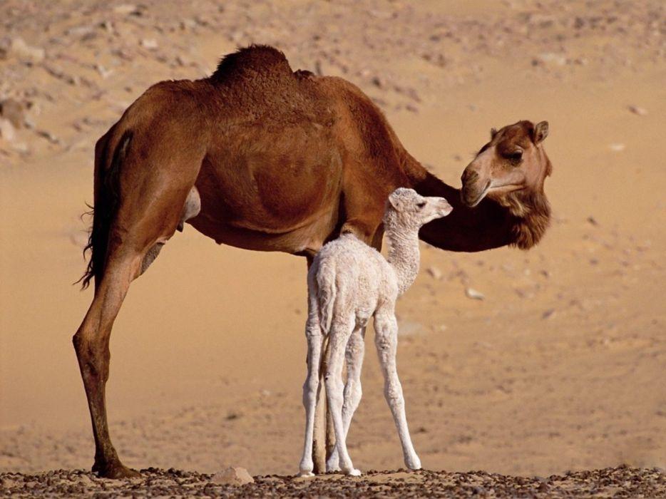 animals camels baby animals wallpaper