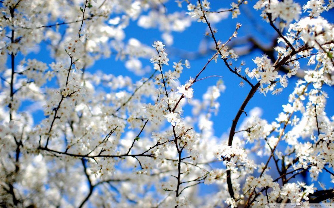 nature blossoms white flowers wallpaper