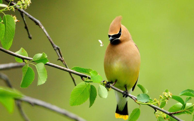 birds animals branches waxwing wallpaper