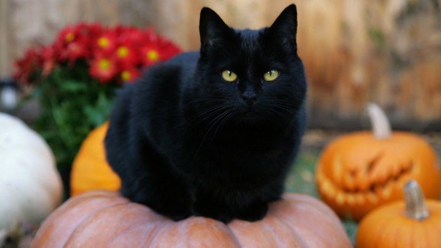 Black Cat Halloween pumpkins jack-o-lanterns wallpaper