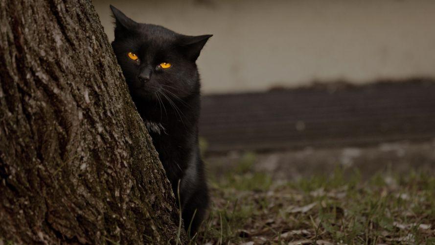 nature cats animals Black Cat wallpaper