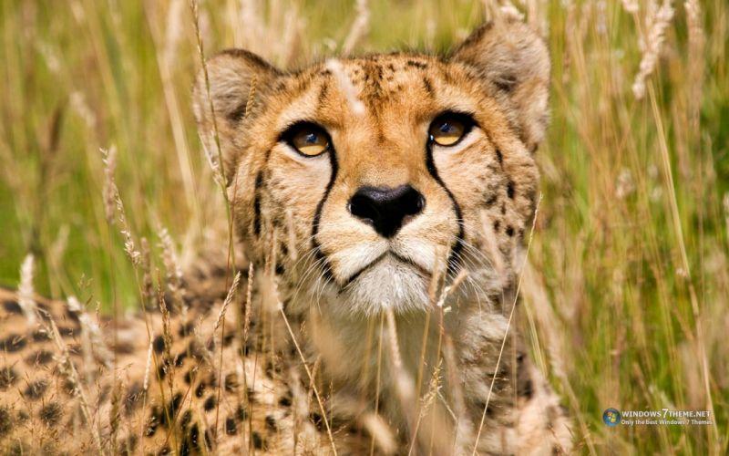 animals cheetahs savage wallpaper