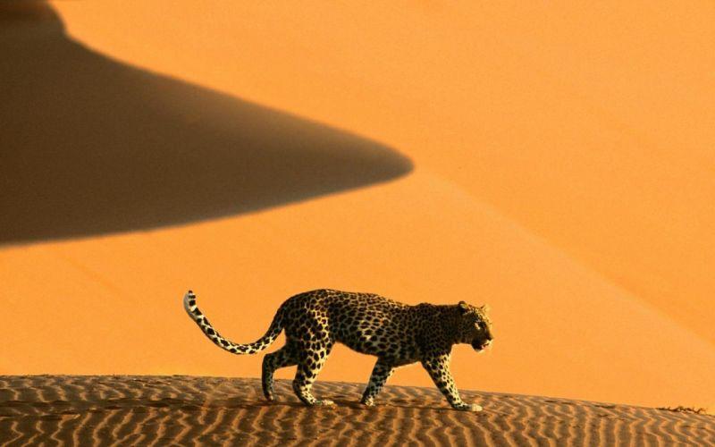 animals deserts Namibia Africa leopards dunes wallpaper