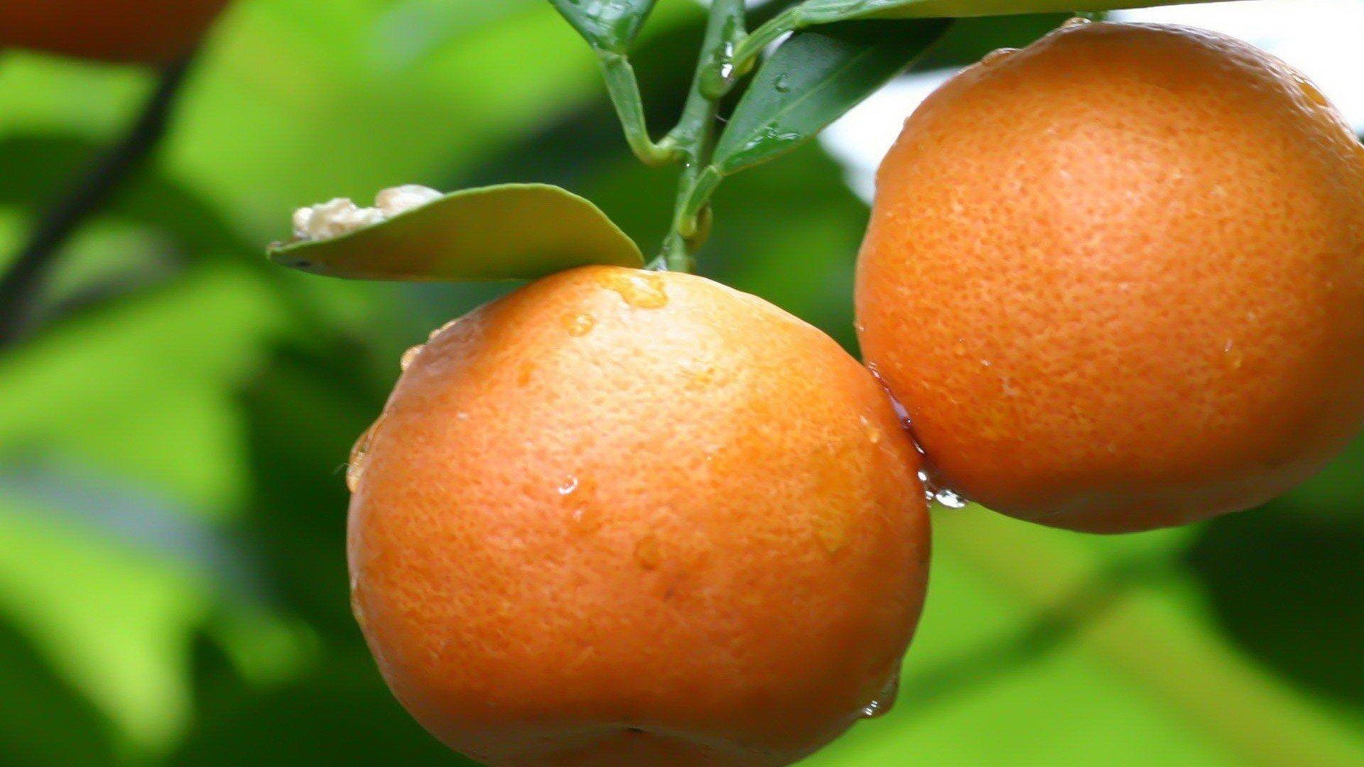 Nature Fruits Oranges Water Drops Wallpaper
