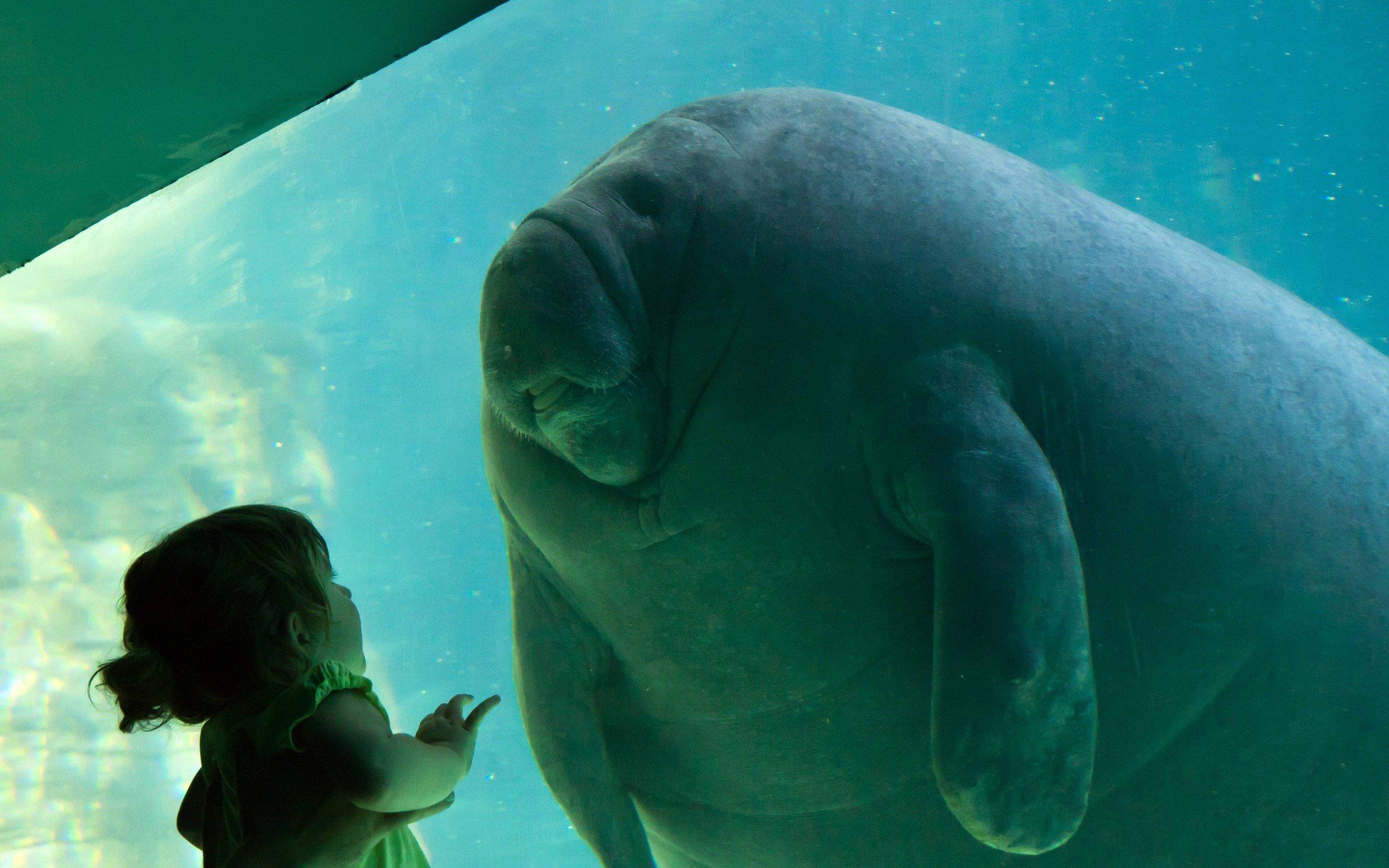 Water animals tanks aquarium manatee little girl wallpaper Manatee aquarium