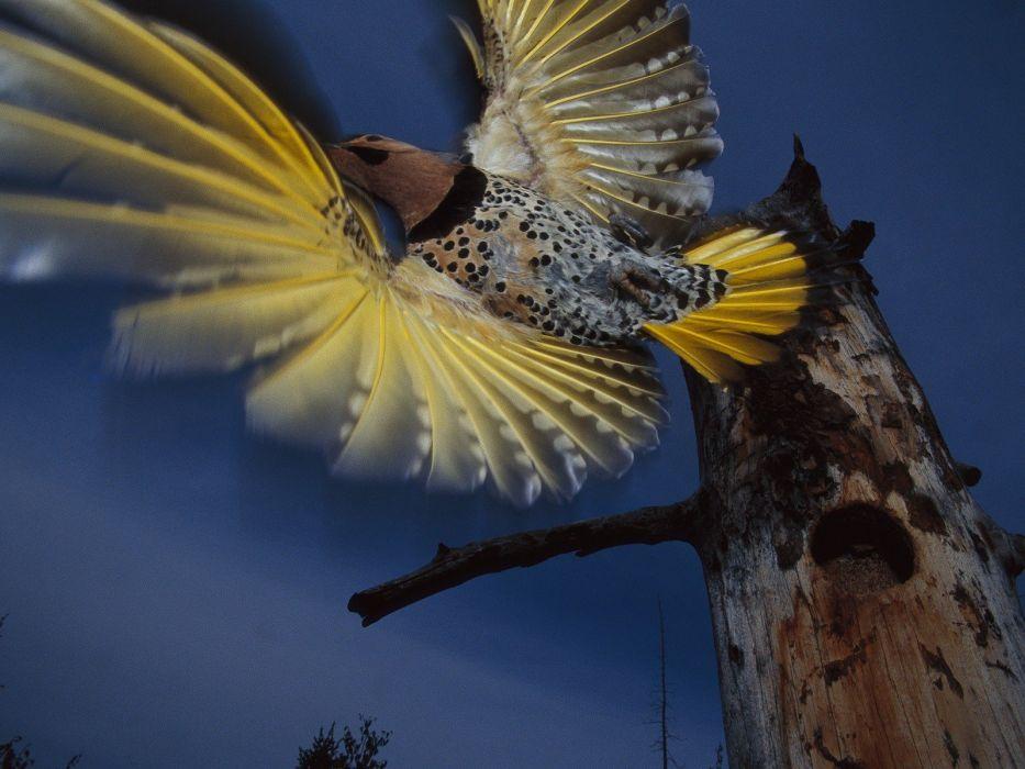 birds Alaska flight woodpecker wallpaper
