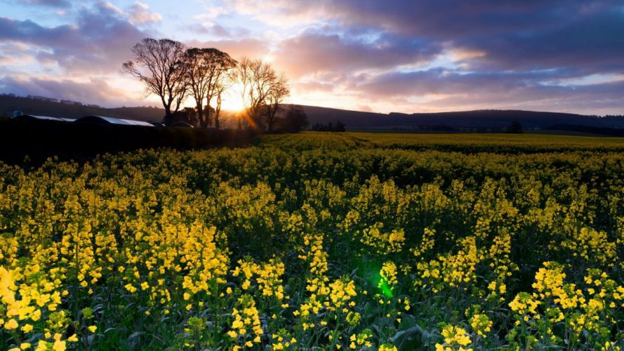 landscapes nature land yellow flowers wallpaper