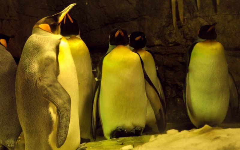 birds wildlife penguins wallpaper