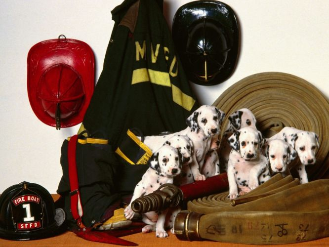 uniforms dogs friends puppies firefighter hats dalmatians wallpaper