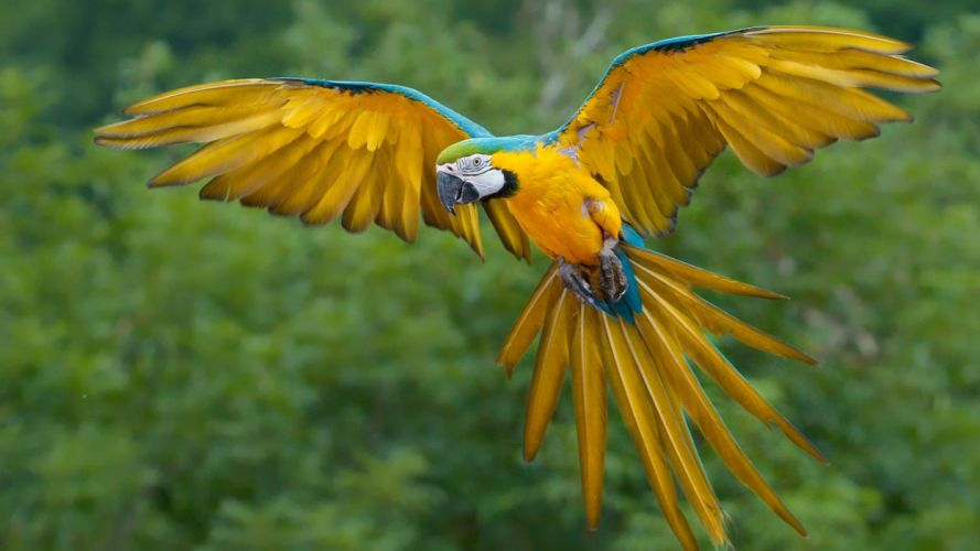 blue-and-yellow-macaw-bird-flying-wallpaper-2560x1440 wallpaper