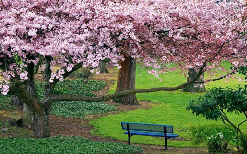 blue-bench-under-blooming-cherry-tree-17043 wallpaper