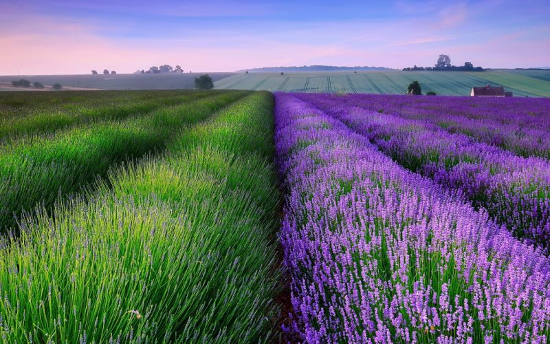 lavender-field-flower-hd-wallpaper-1920x1200-10715 wallpaper