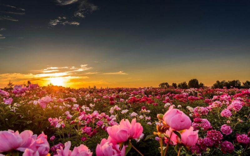 pink-peonies-in-the-sunset-flower-hd-wallpaper-1920x1200-10742 wallpaper