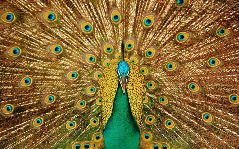 birds animals peacocks wallpaper