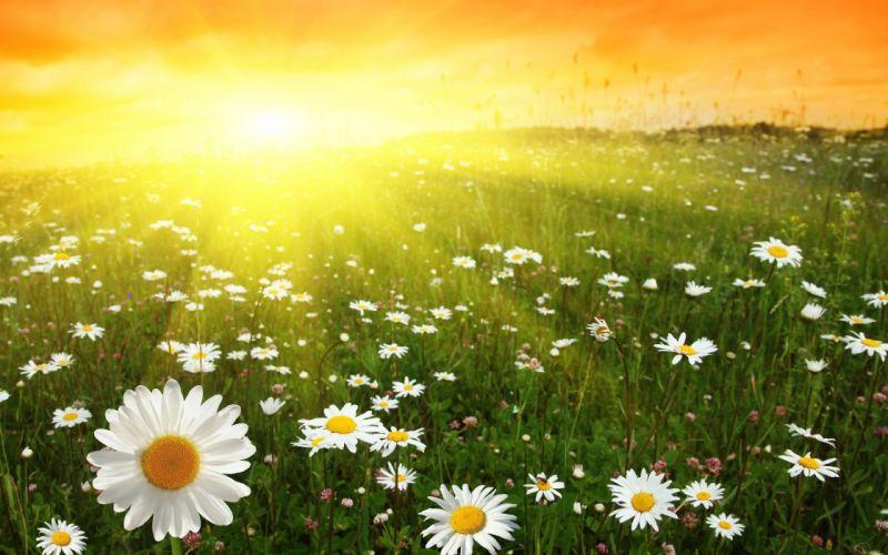 nature Sun flowers daisy wallpaper
