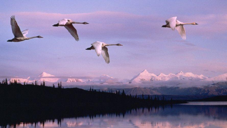 flying Alaska swans National Park wallpaper