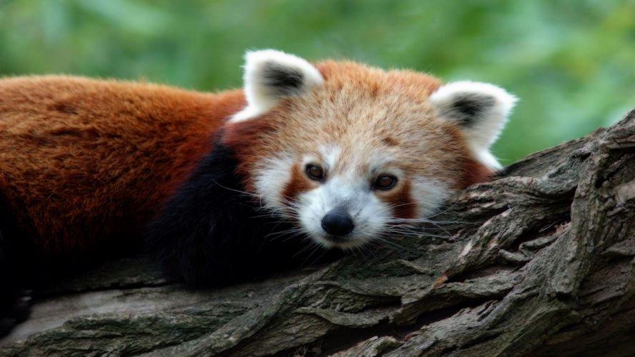 nature animals wildlife red pandas tree trunk wallpaper