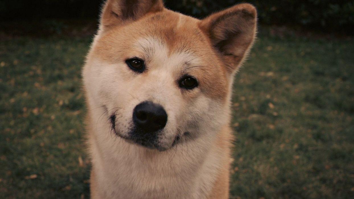 eyes movies animals dogs Akita Hachiko: A Dog's Story wallpaper