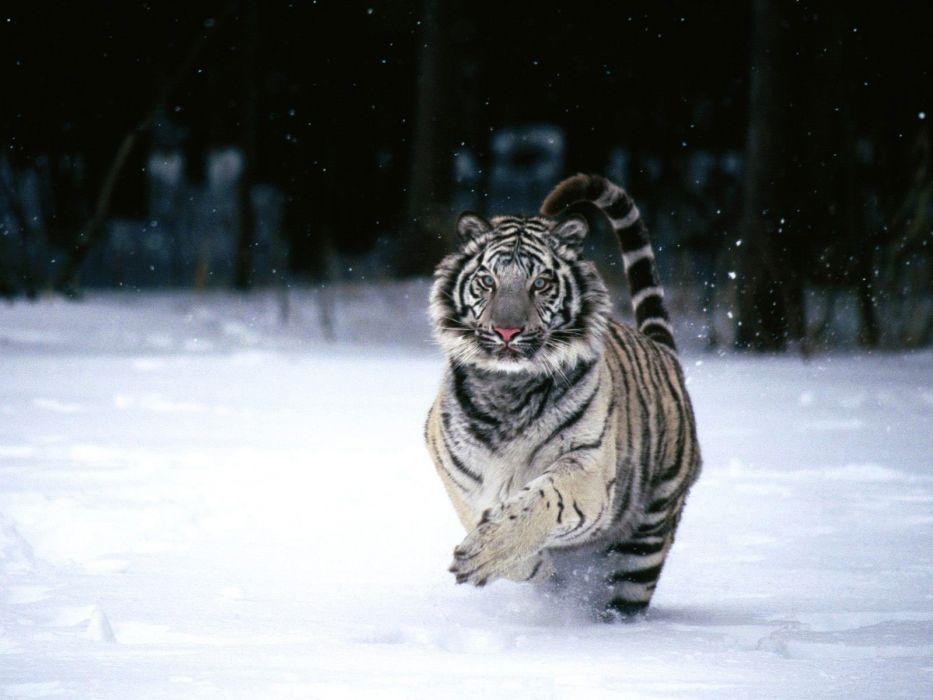 animals tigers white tiger wallpaper