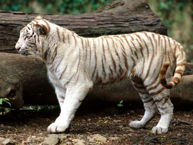tigers wallpaper