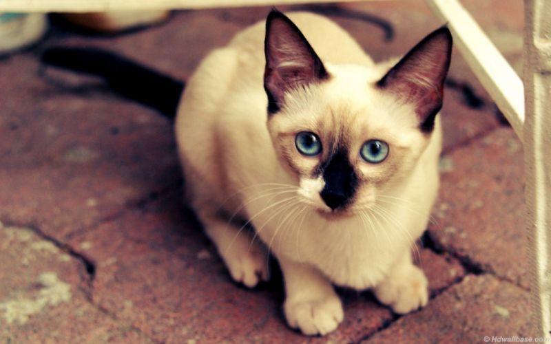 cats blue eyes animals siamese wallpaper