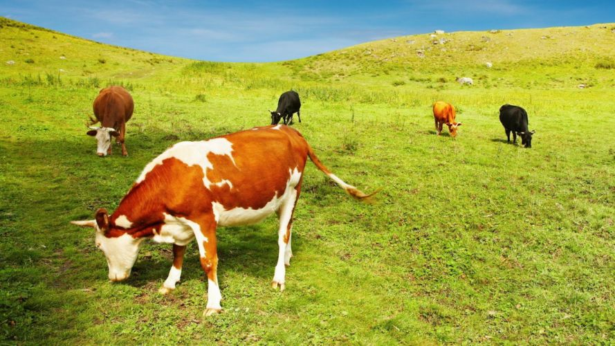 animals cows mammals eating wallpaper