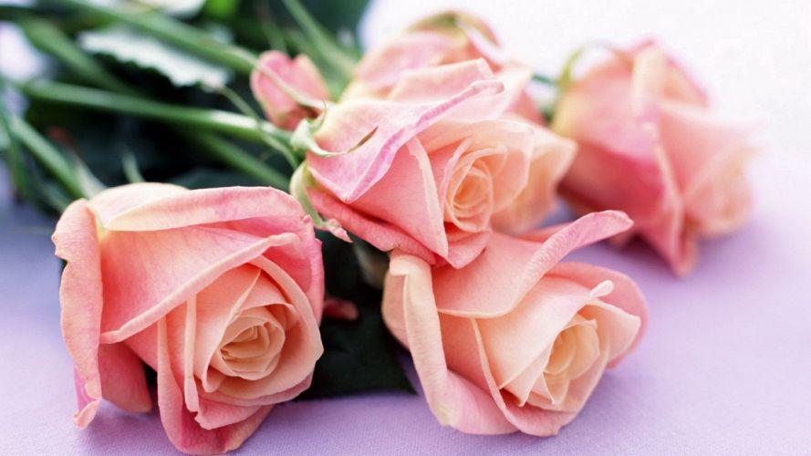 nature roses pink rose wallpaper