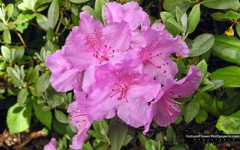 landscapes nature pink flowers Rhododendron wallpaper