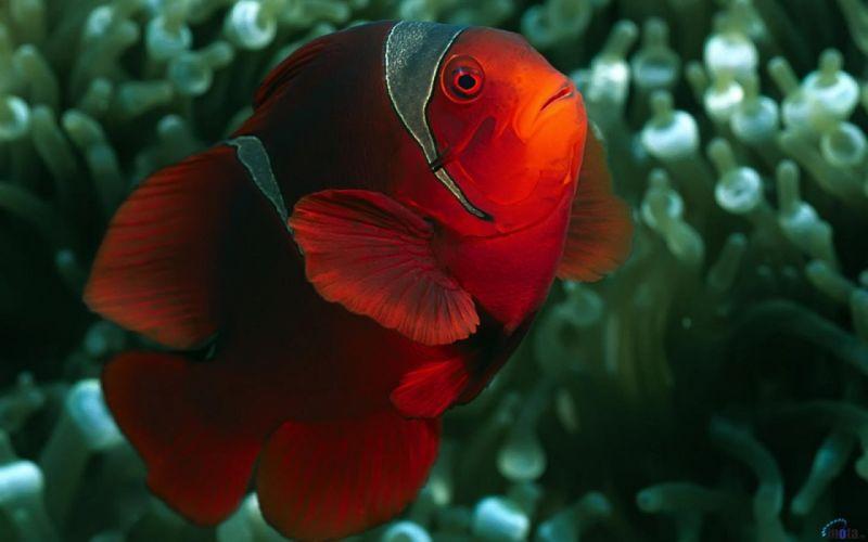 clownfish Sea Life wallpaper