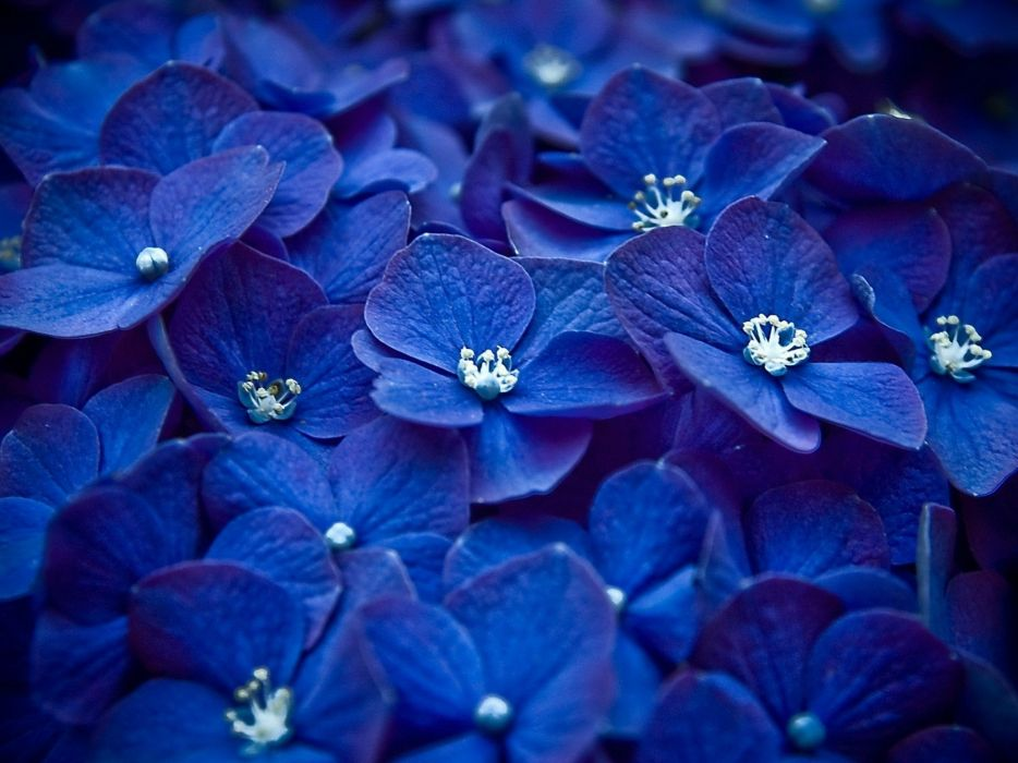 nature flowers blue flowers Hydrangeas wallpaper