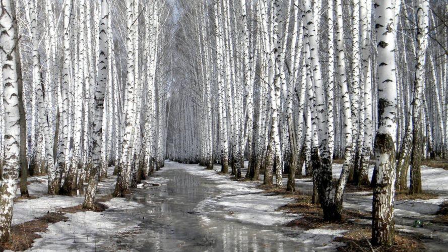 nature winter forests birch wallpaper