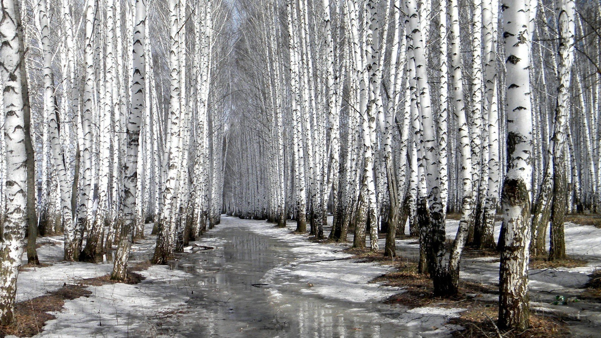nature winter forests birch wallpaper 1920x1080 320842