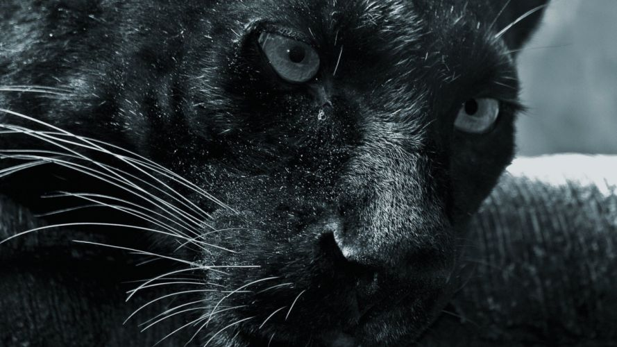 black cats animals panthers wallpaper