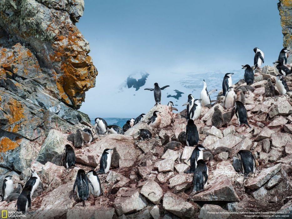 landscapes nature birds animals rocks penguins National Geographic Antarctica Chinstrap Penguins wallpaper