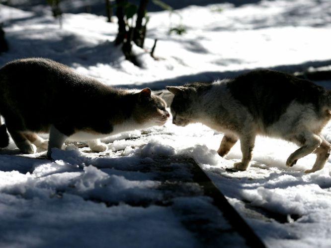 snow cats animals wallpaper
