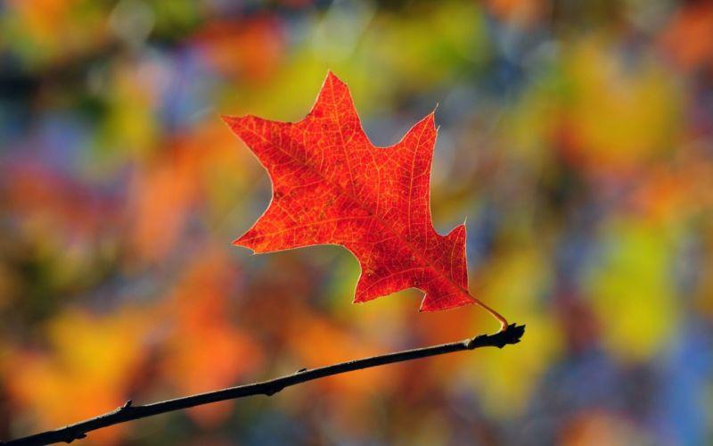 nature leaf orange leaves oak wallpaper