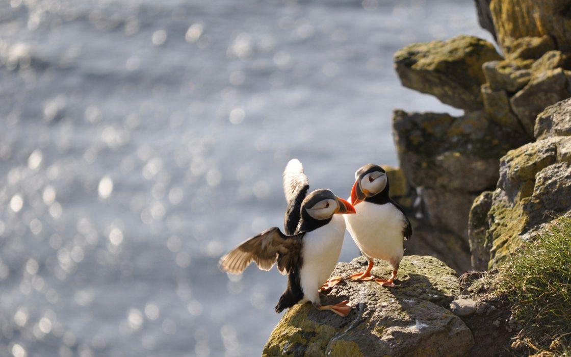birds animals rocks Puffin wallpaper