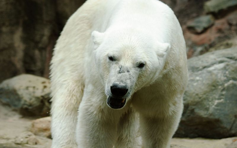 nature animals polar bears wallpaper