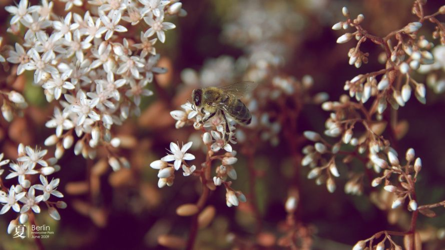 nature flowers insects summer bees branches white flowers wallpaper