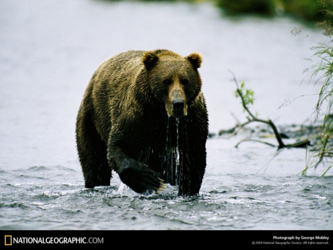 National Geographic bears wallpaper
