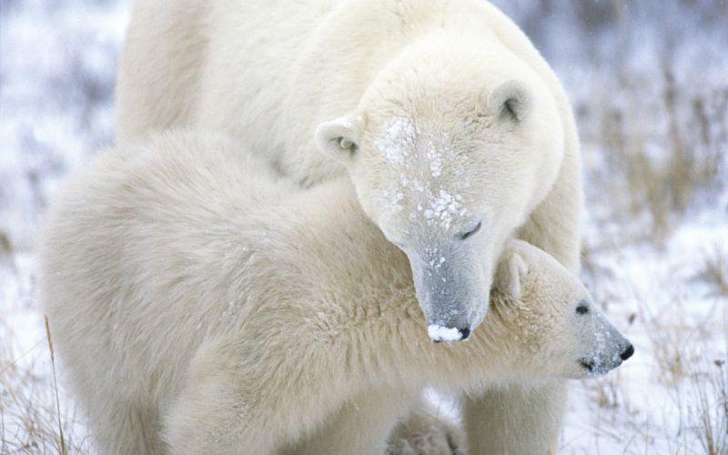 nature animals polar bears baby animals wallpaper