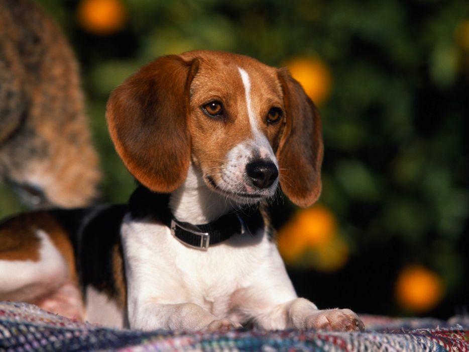 American animals dogs Fox Hound wallpaper