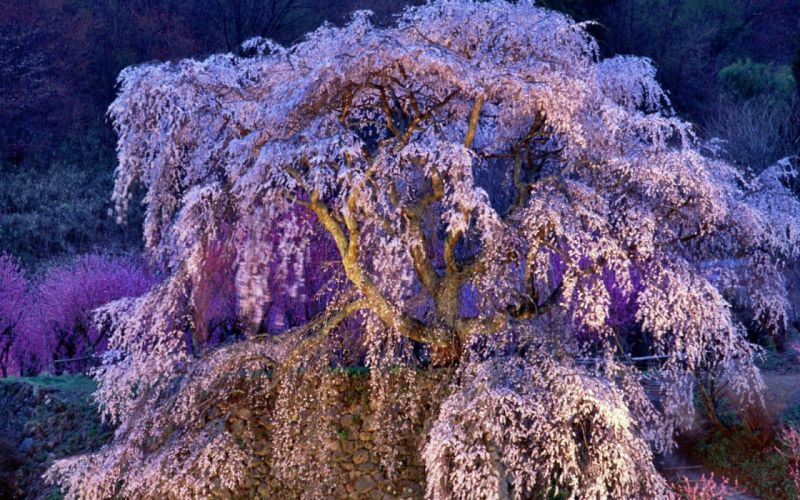 Japan cherry blossoms flowers spring flowered trees wallpaper