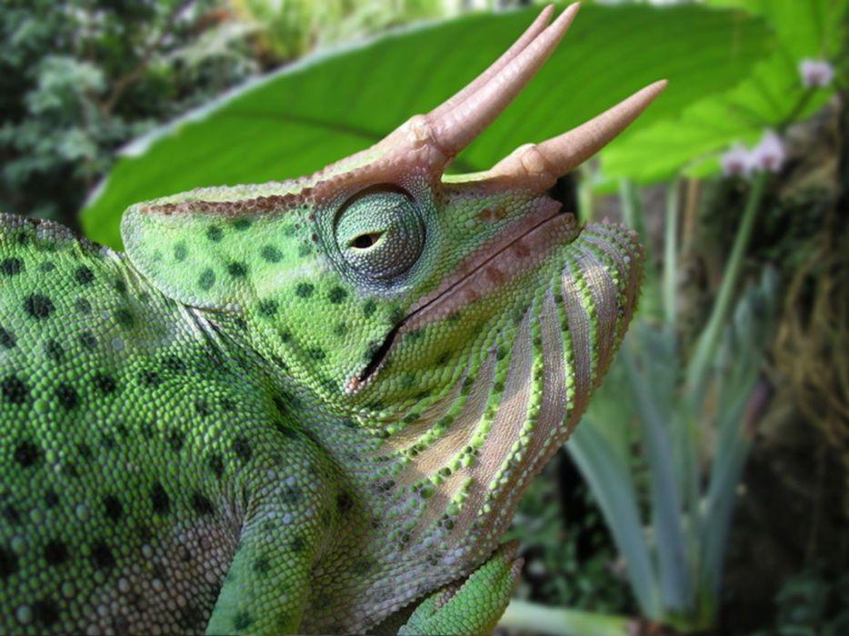 animals chameleons reptiles wallpaper
