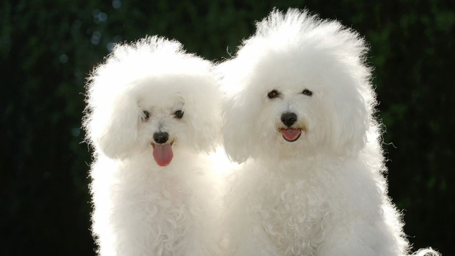 animals dogs poodle wallpaper