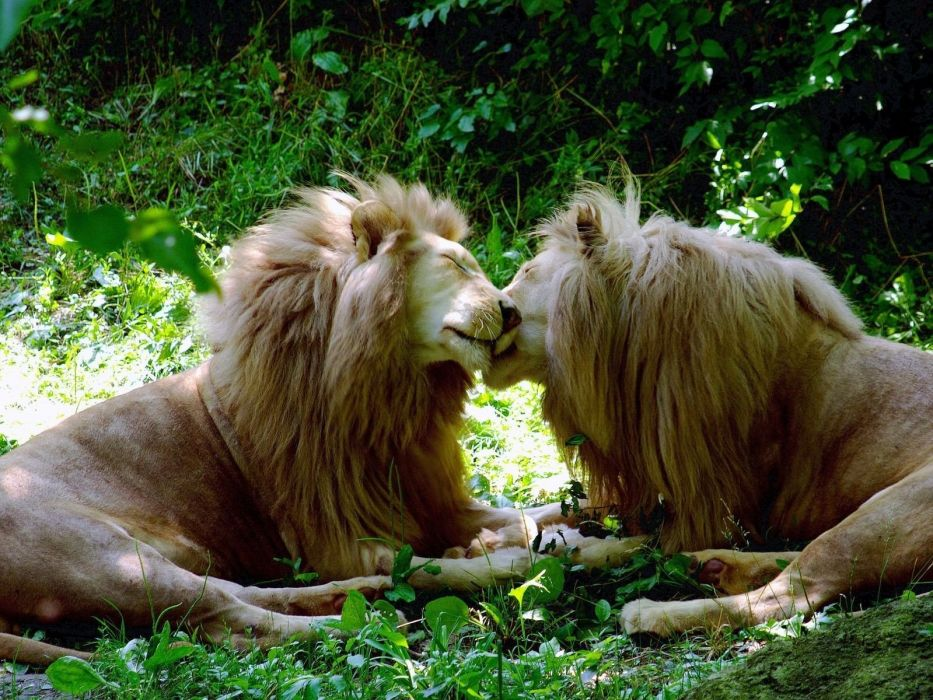 love trees forests grass kissing tulips lions TagNotAllowedTooSubjective brother gay wallpaper
