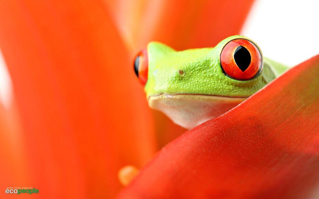 orange frogs Red-Eyed Tree Frog amphibians wallpaper