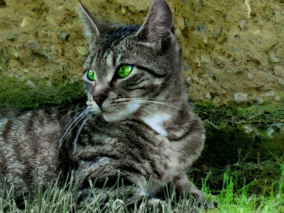 cats green eyes Tabby wallpaper
