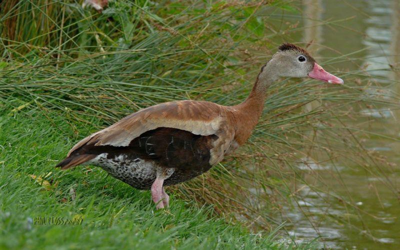birds grass ducks wallpaper