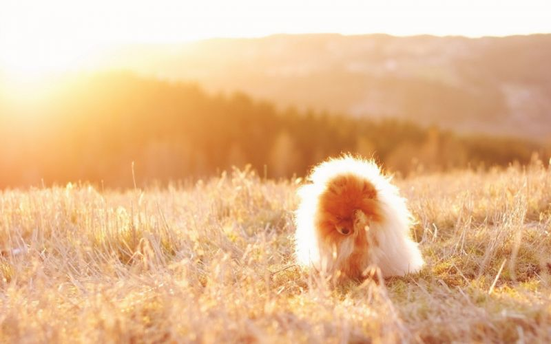 nature animals grass dogs fields sunlight wallpaper